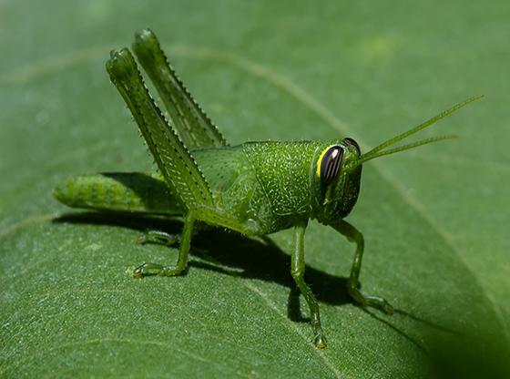 Green grasshopper possibly a nymph - Schistocerca