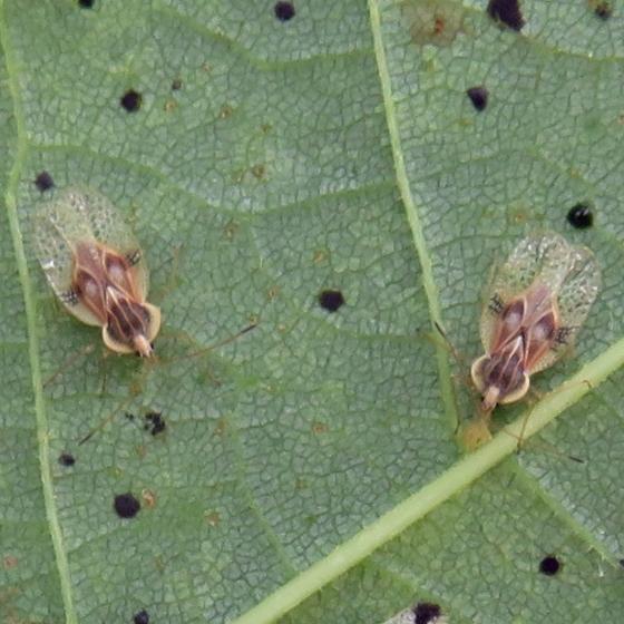 Lace Bug - Gargaphia tiliae
