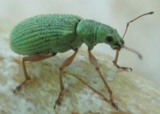 Beetle - Polydrusus impressifrons