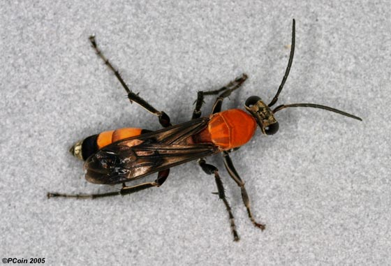 Ornate Spider Wasp - Psorthaspis mariae - female