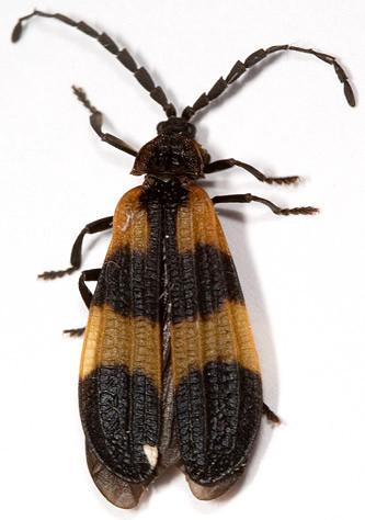 Orange and black beetle - Calopteron discrepans