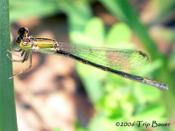 Golden damselfly - Ischnura hastata