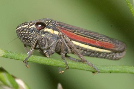 Leafhopper - Cuerna striata