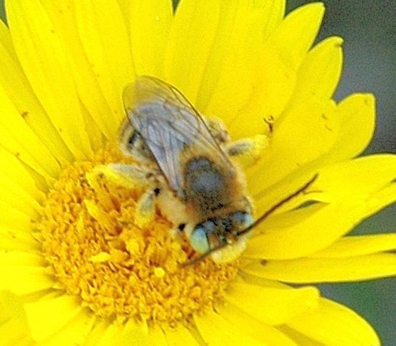 Bee - unident - Melissodes