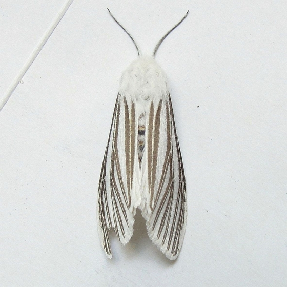 Hodges #8130 - Echo Moth - Seirarctia echo - female