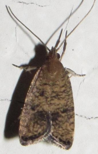 Moth for ID - Psilocorsis quercicella