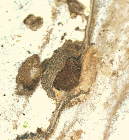 Beetle graffiti, artist's conk - Bolitotherus cornutus