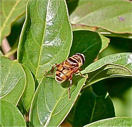 Syrphidae? - Palpada vinetorum