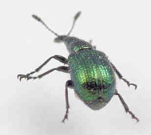 Weevil - Haplorhynchites eximius