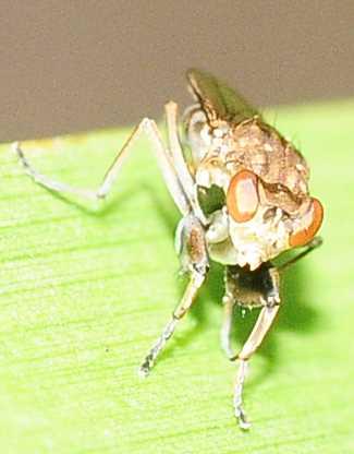 Shore Flies Genus Ochthera mantis complex - Ochthera
