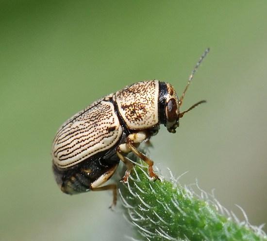 Scriptured Leaf Beetle - Pachybrachis caelatus