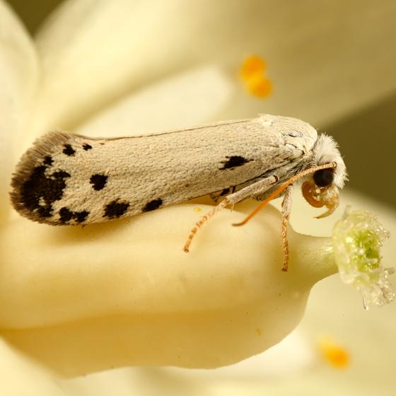 yucca moth - Tegeticula maculata