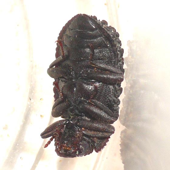 Bolitophagus corticola