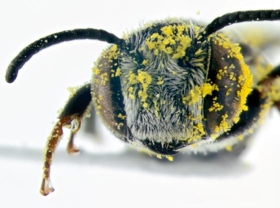 Bee, face - Coelioxys modestus - male