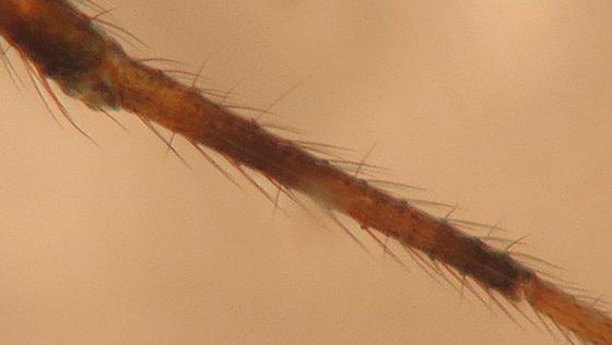 Linyphiid - Linyphantes victoria - female