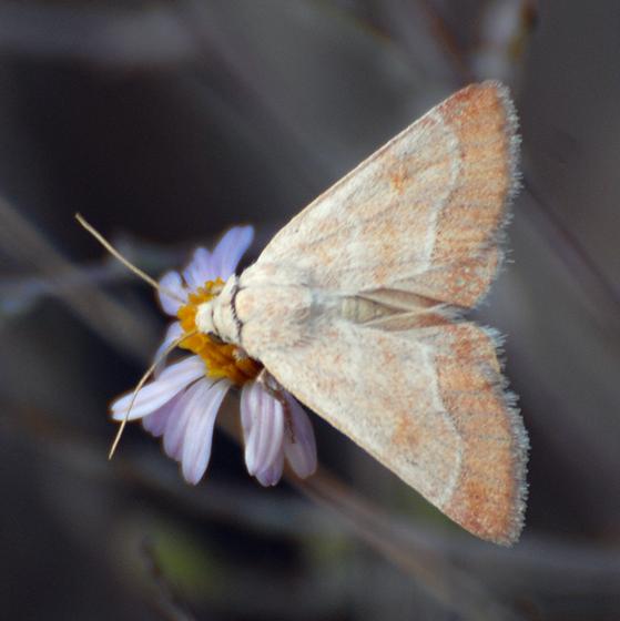 ID for a moth? - Schinia buta