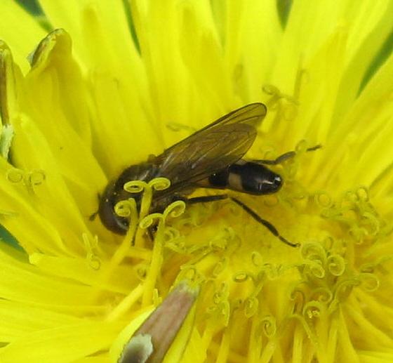 Syrphidae  02b - Platycheirus - male