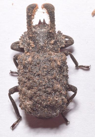 Bolitotherus cornutus - male