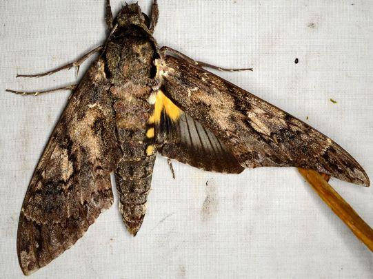 Giant Sphinx Moth - Cocytius antaeus
