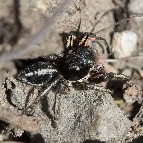 Salticidae ? - Habronattus americanus