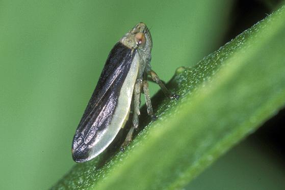 Leafhopper? - Philaenus spumarius