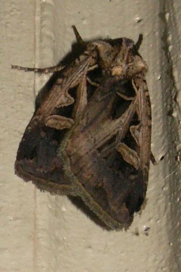 Feltia Moth - Feltia