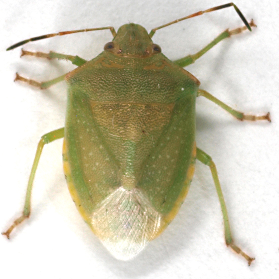Green stink bug - Thyanta custator