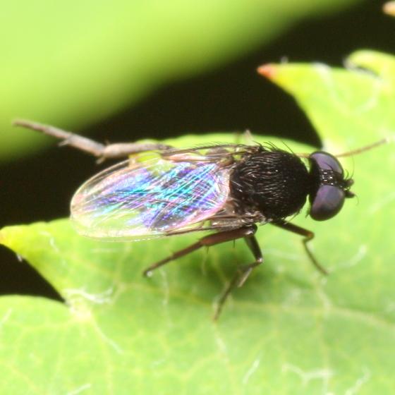 Hairy black fly - Phora