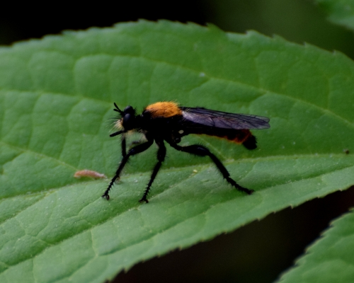 flying insect - Laphria
