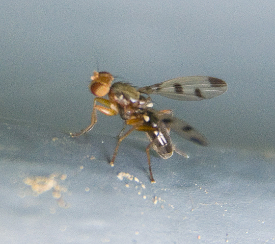 small fly - patterned wings, fruit fly? - Geomyza tripunctata
