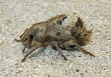 Twobanded Japanese Weevil - Pseudocneorhinus obesus