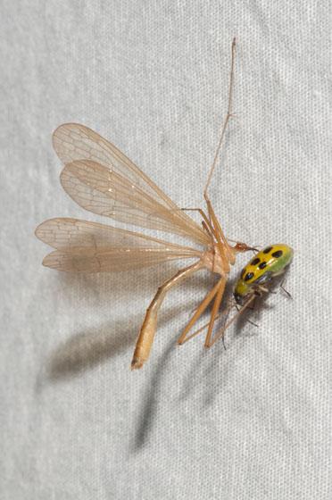 Hangingfly - Bittacus