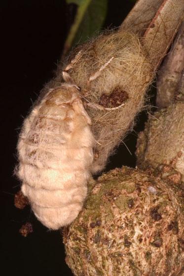 Tussock Moth - Orgyia detrita - female