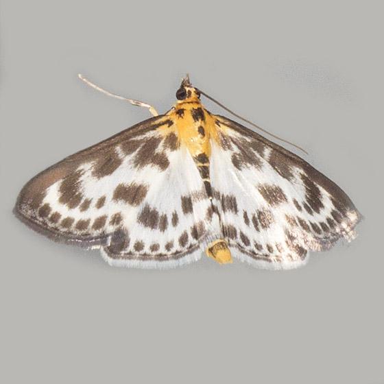 Small Magpie - Hodges#4952 - Anania hortulata