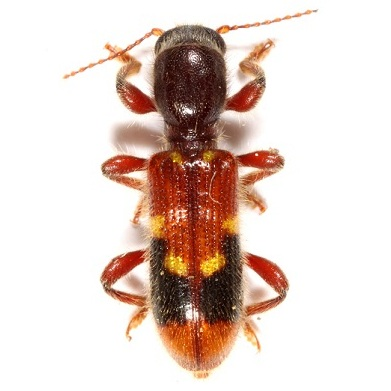 unknown clerid - Priocera castanea