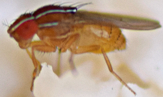 Small fly - Zaprionus indianus