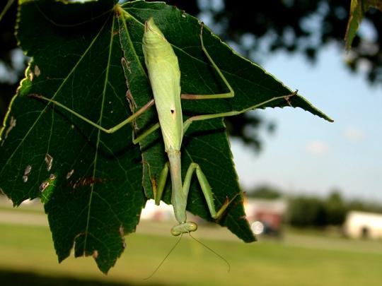 Spotted Mantis - Stagmomantis carolina