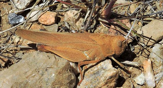 Arizona Grasshopper - Tomonotus ferruginosus
