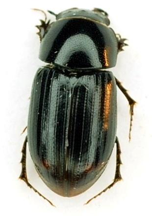 Aphodius terminalis