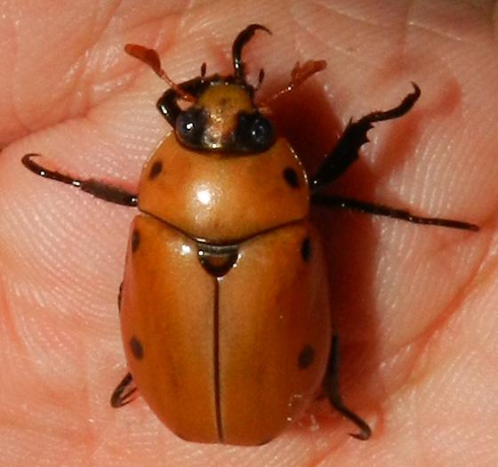 Large Porchlight Visitor - Pelidnota punctata