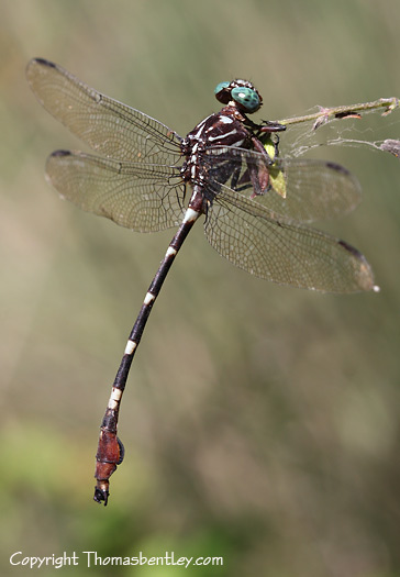 Dragonfly - Phyllocycla breviphylla