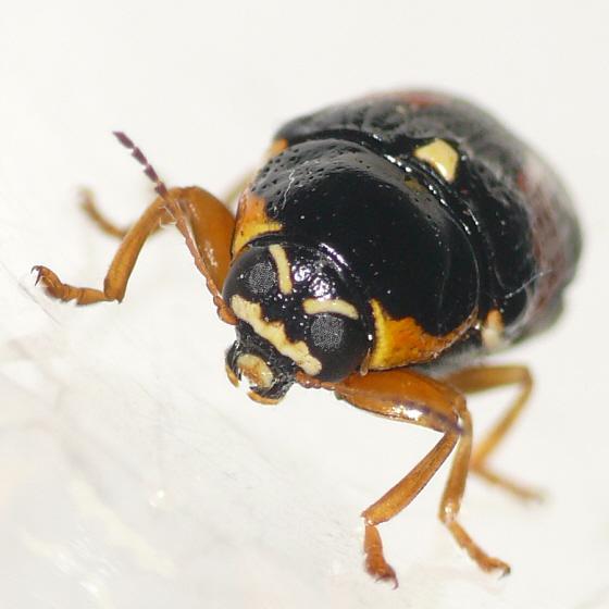 Leaf beetle - Griburius scutellaris