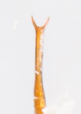 Leafhopper - Agallia constricta - male