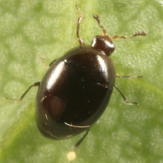 Minute Hooded Beetle - Orthoperus scutellaris