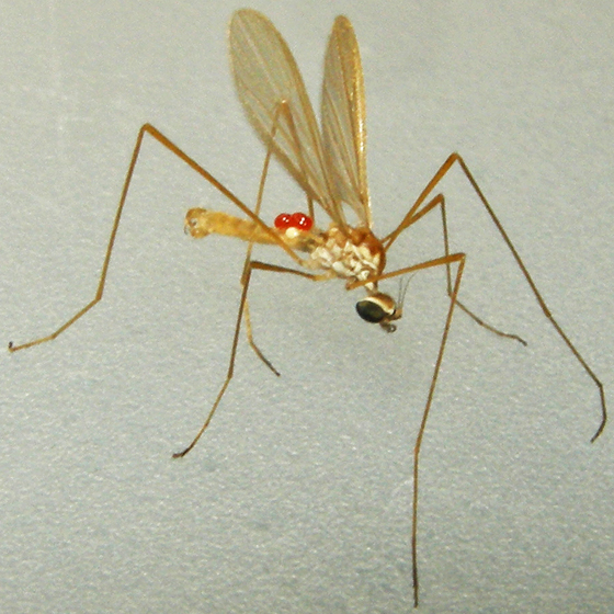 limoniid crane fly - Erioptera - male