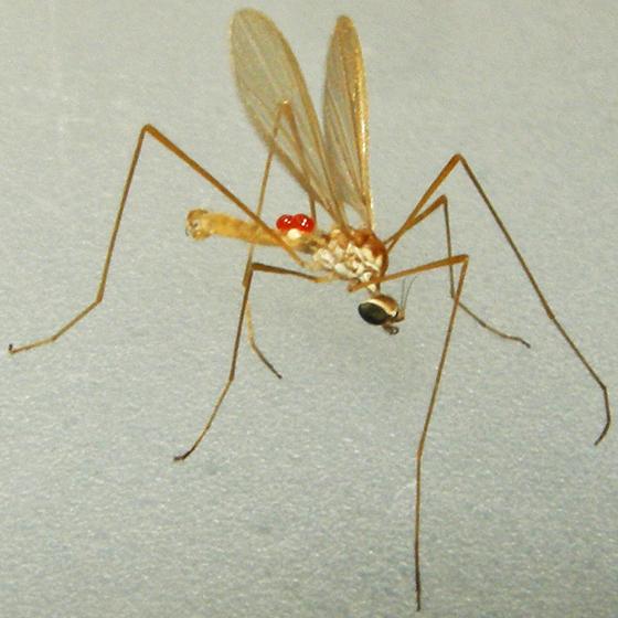 limoniid crane fly - male