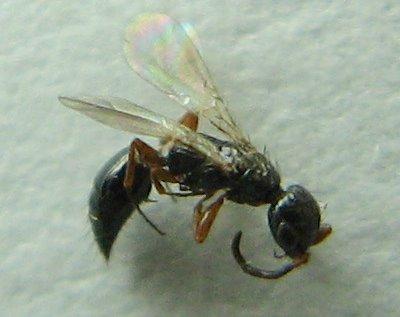Another Micro - Laelius