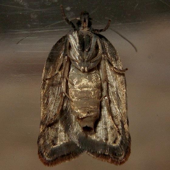 Adult - Acleris variegana