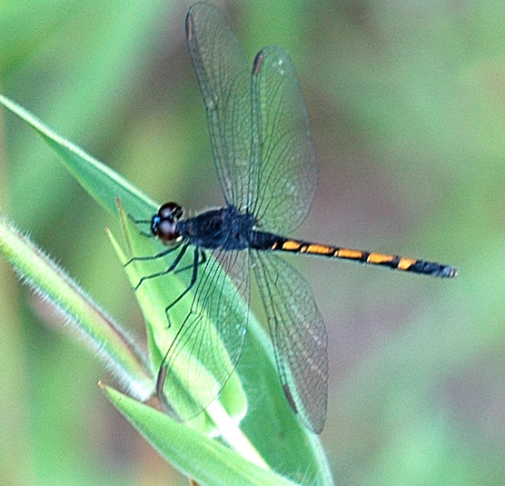 Seaside Dragonlet - Erythrodiplax berenice - female