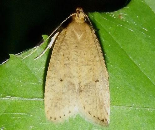 Tan moth - Psilocorsis